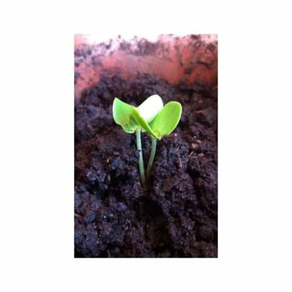 Planta Maseta EyeEm Nature Lover Naturaleza Raíces Verde