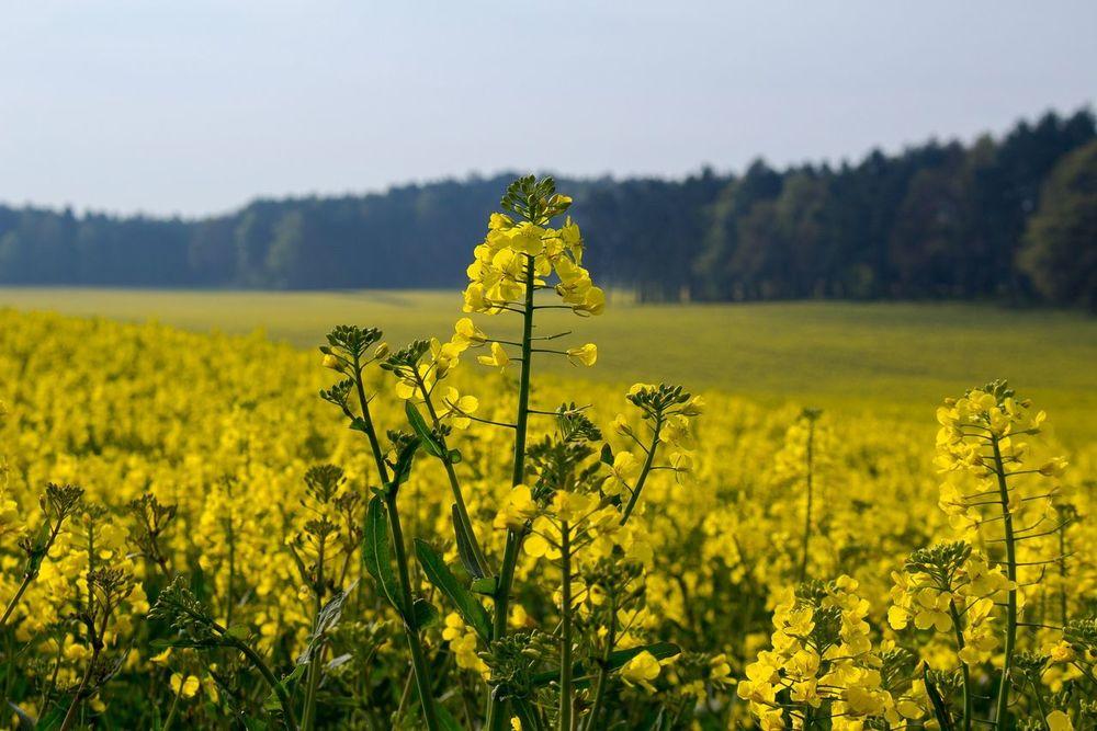Saxony Deutschland Flower Rapsfeld RapeFlowers Yellow Flower Landscape_Collection No Person Sachsen Saxony Germany