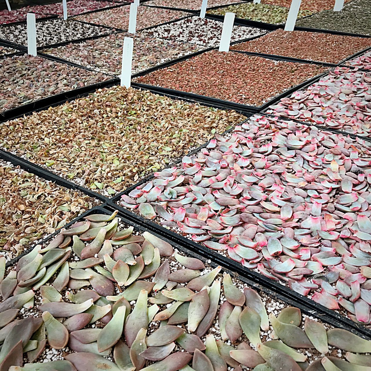 High Angle View Abundance Market Outdoors Market Stall Leaf Food No People Day Freshness Dried Fruit Propagation Plant Propagation Succulents Succulent Propagation Succulent Leaves Mudflats Open Edit Greenhouse