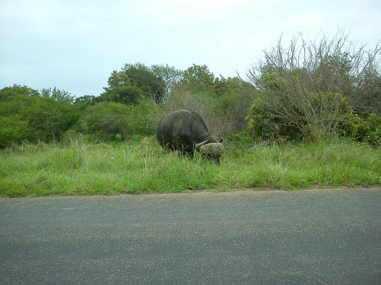 road, animal themes, one animal, mammal, grass, nature, tree, animals in the wild, no people, day, outdoors, growth, sky, domestic animals, safari animals, beauty in nature