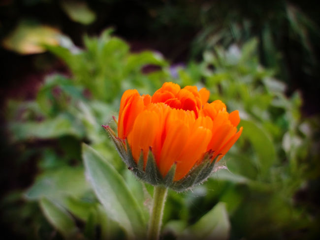 Backyard flower Beauty In Nature Blooming Blossom Botany Close-up Day Flower Flower Head Focus On Foreground Fragility Freshness Green Color Growth In Bloom Nature No People Orange Color Outdoors Petal Plant Pollen Selective Focus Tabphotography Tranquility