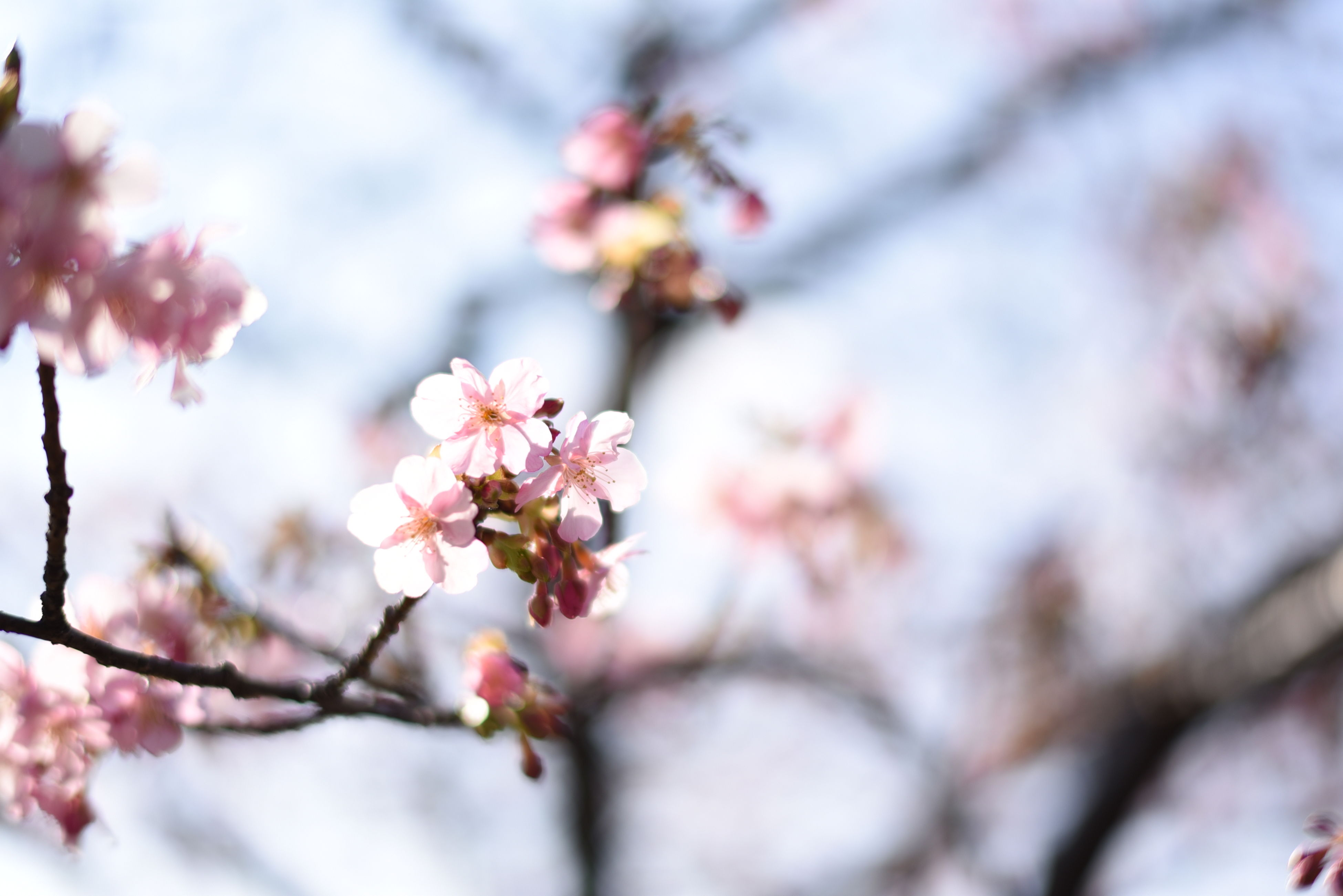 flower, branch, freshness, tree, cherry blossom, growth, fragility, cherry tree, beauty in nature, blossom, focus on foreground, nature, twig, pink color, close-up, fruit tree, springtime, low angle view, selective focus, in bloom