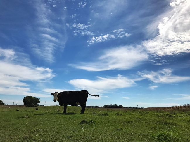 Animal Themes Grass Blue One Animal Livestock Grazing Landscape Tranquility Pasture Tranquil Scene Escaping Calm Photo Of The Day Countryside Solitude Beauty In Nature Check This Out On The Road