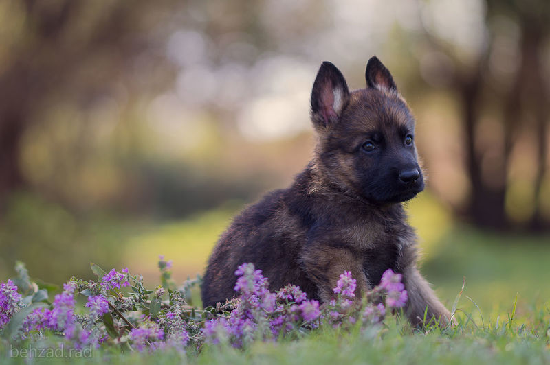 GSD baby boy sit on flower in forest #bullmastiffpuppies #bullmastiffofinstagram #puppiesforsale #pet #petsofinstagram #petsofinsta #nalaandsimba #pomeranian #dogsofinstaworld #puppiesxdogs #mydogiscutest #bestwoof #dog_features #animallover #animaladdicts #cutepuppyclub #puppysketch #pup #s #dogshow #puppyshow #helpingothers #bullys #bully #englishbulldog #тимерташ #среднеазиатскаяовчарка #собака #щенки #щенок #doglover #doginstagram #instapuppies #instagram #pappy #alabay #alabai #timertash #cao #kennel #kennelclub #russia #сао #animals #жи #gsdsofinstagram #gsd #gsdofinstagram #drayke #mansbestfriend #pupsofinstagram #pups #coloradodog #instalike #collegebeauties #florida #gators #bikinis #gorgeous #ftw #bikinibabes #fitgoals #sunkissed #tanlife #savethetatas #goodvibes #lifeisgood #america #leonbergeroftheday #puppyoftheday #leonbergersofinstagram #gentlegiantsofinstagram #fluffball #servicedog #servicedogintraining #workingdog #dailybarker #pourlapooch #losangeles #gussyandme #ilovemydog #vancouver #vancity #buzzfeed #dogsofvancouver #vanc #photooftheday #igbulldog #igbulldog_worldwide #barkbox #baxterthebully #chubbydog #cutepuppythrowback #golden #goldenretriever #goldenretrievers #white #ilovegolden_retrievers #goldensofinstagram #goldens #cuteness #pets #pictureofday #instagood #weloveg #squishface #bestfriend #love #loyal #loyalty #everywhere #cute #puppylove #puppygram #puppyeyes #work #spain #alicante #dogsofinstagram #adoptdontshop #baby #asokaelgrande #adoptaunperro #asoka #happy #blessed #fun #goodtimes #summer #teamsnoopy #fundrai #алабай #cleobluefrenchie #frenchiephotos #pawsomefrenchies #instadog #lovepuppies #lovedogs #dogoftheday #dogstagram #petstagram #dogs_of_instagram #bluefrenchie #bluefrenchbulldog #thefrenchiepost #puppiesofinstagram #puppyfrenchie #frenchiepost #bulldo Animal Themes Beauty In Nature Close-up Day Domestic Animals Flower Flower Head Focus On Foreground Fragility Freshness Nature No People One Animal Petal Pets Selective Focus Wildflower Zoology