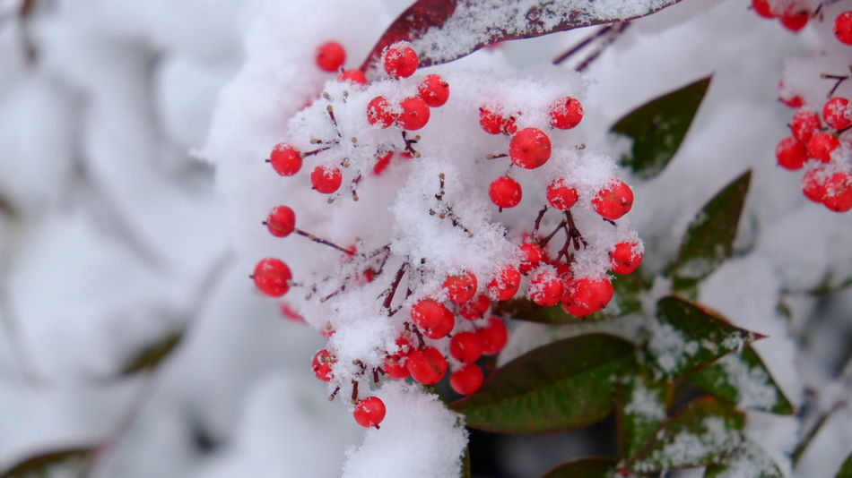 Red Snow Winter Cold Temperature Nature Outdoors Ice Beauty In Nature Close-up