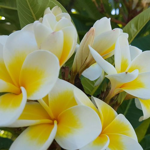 Nature Flower Growth Beauty In Nature Plant Fragility Close-up Outdoors No People Day Freshness Flower Head Streets Of Sydney Frangipani