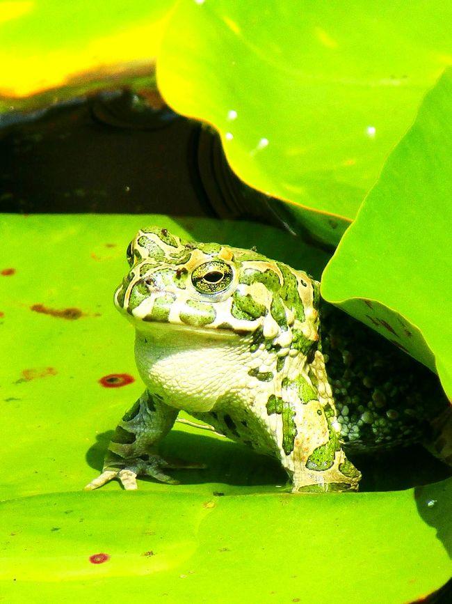 Frog Frogprince Green Greenfrog New Animal Animalphotography Garden Gardenphotography Gardenlakes Naturelovers Naturephotography Waterlily Camouflage EyeEm Best Shots - Nature Eyeemnaturelover Leaves🌿 Eyeemphotography