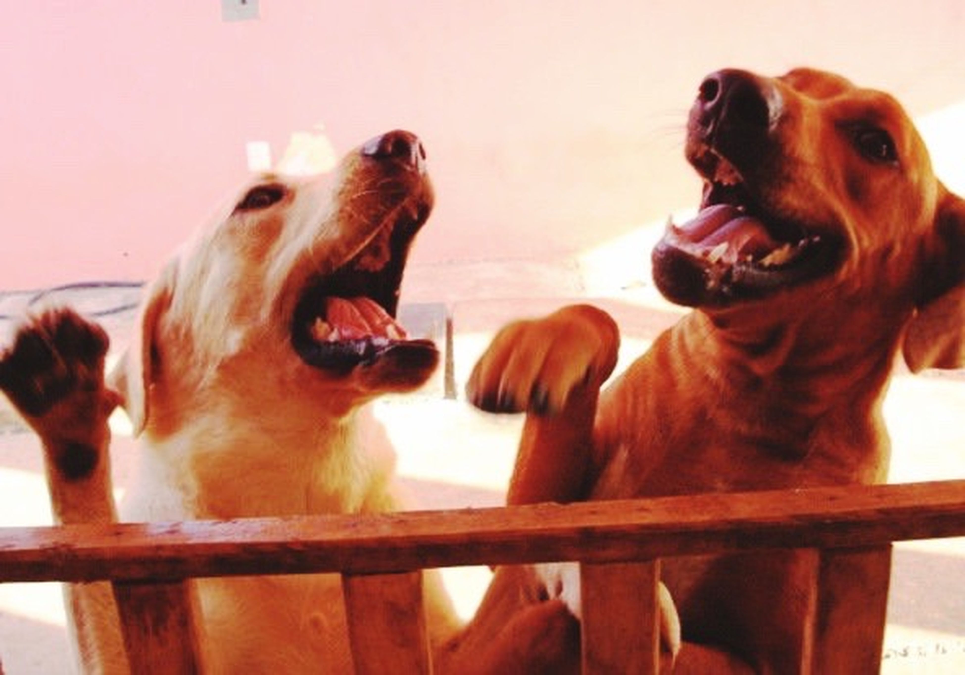 animal themes, mouth open, no people, mammal, togetherness, domestic animals, dog, animal behavior, nature, yawning, outdoors, day