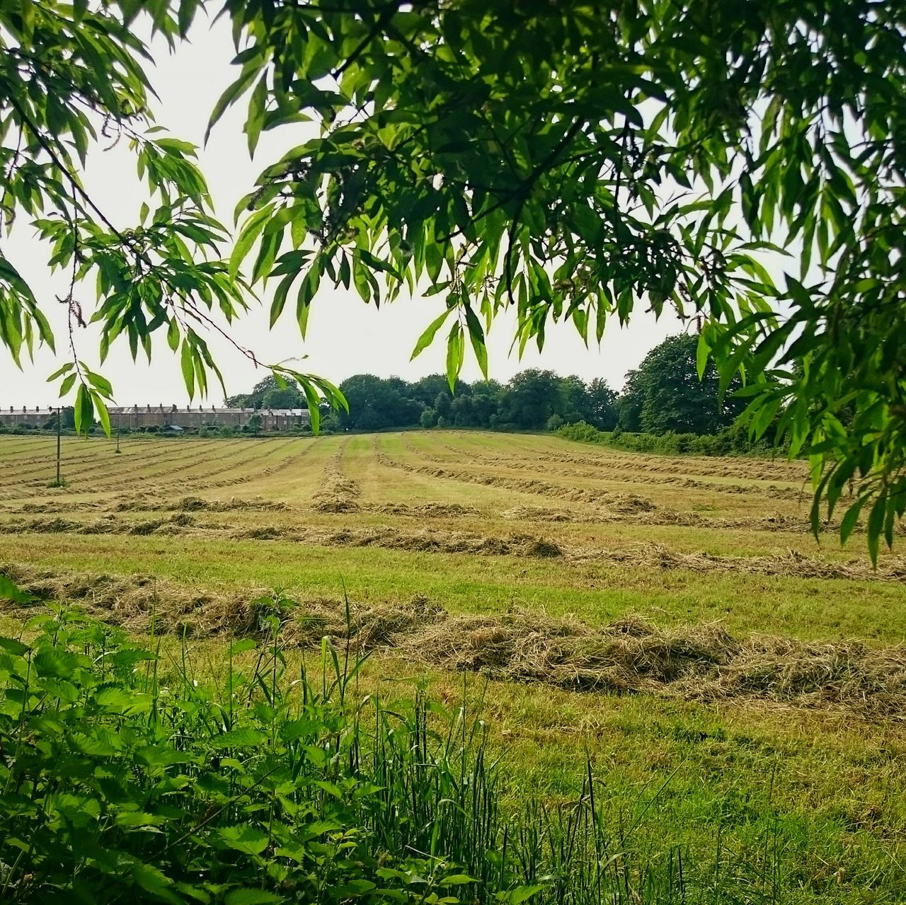 Taking Photos Eeyem Nature Lover Beauty In Nature EeYem Best Shots Taking Photos Farming Summertime Haymaking Time Rows Of Things Rows Grassy Grassfield Agriculture Fields Fieldscene From Where I Stand Countryside Rural Scenes Tranquility Landscape Landscapes Landscape_Collection