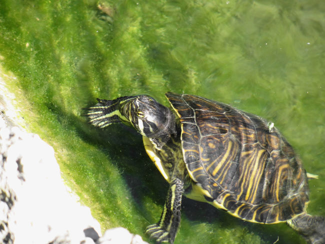 Aquatic turtle getting out of water Animal Aquatic Claw Green HEAD Headshot Horizontal Lake Mud Omnivore Outdoors Peace Pet Pond Reflection Relax Repose Reptile Shield Tortoise Turtle Water Wellness Wet Wild