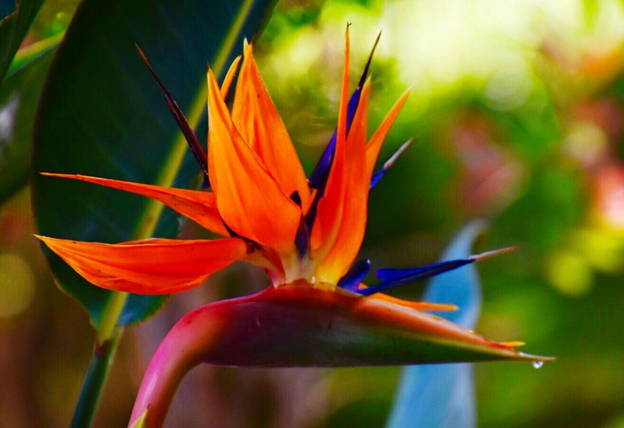 Flower Papageienblume Freshness Fragility Nature Growth Beauty In Nature Petal Orange Color Bird Of Paradise - Plant Flower Head Close-up Blooming No People Plant Day Outdoors (null)Macro Photography EyeEm Nature Lover Eyem Best Shots Beauty In Nature EyeEm Gallery Eye4photography  EyeEm Best Shots
