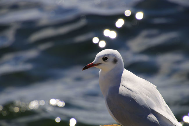Animal Head  Animal Themes Animals In The Wild Avian Beak Beauty In Nature Bird Blackcap Blackheaded Gull Bright Close-up Focus On Foreground Nature No People One Animal Outdoors Sea Seagull Selective Focus Side View Tranquility Wildlife Zoology
