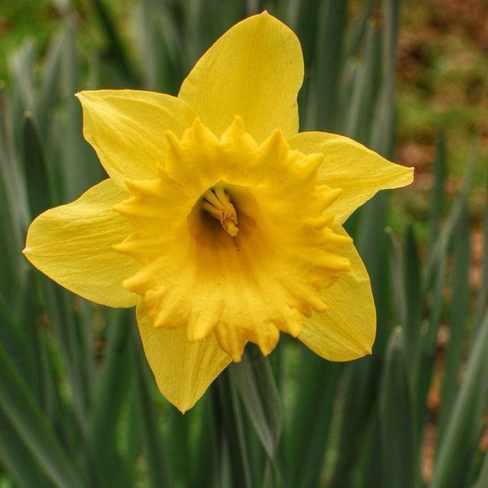 Narcissus Pseudonarcissus Daffodil Daffodils Daffadowndilly Amaryllidaceae Family Wild Flower Wild Flowers Yellow Flower Yellow Stamens Spring Flowers Spring