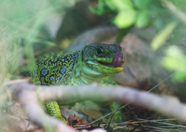 Animal Themes Animal Wildlife Animals In The Wild Canon Canonphotography Close-up Day France Green Color Montpellier Nature No People One Animal Outdoors Photoftheday Photography Pic Saint Loup Reptile Selective Focus Tranquility Travel Travel Destinations