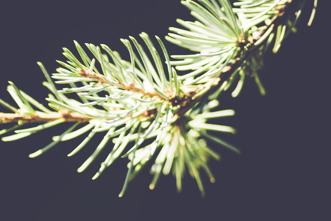 fir twig - dark background Beauty In Nature Black Background Blossom Botany Close-up Coniferous Trees Conifers Detail Fir Flower Flower Head Focus On Foreground Fragility Freshness Growing Growth Nature No People Outdoors Petal Plant Selective Focus Softness Tranquility