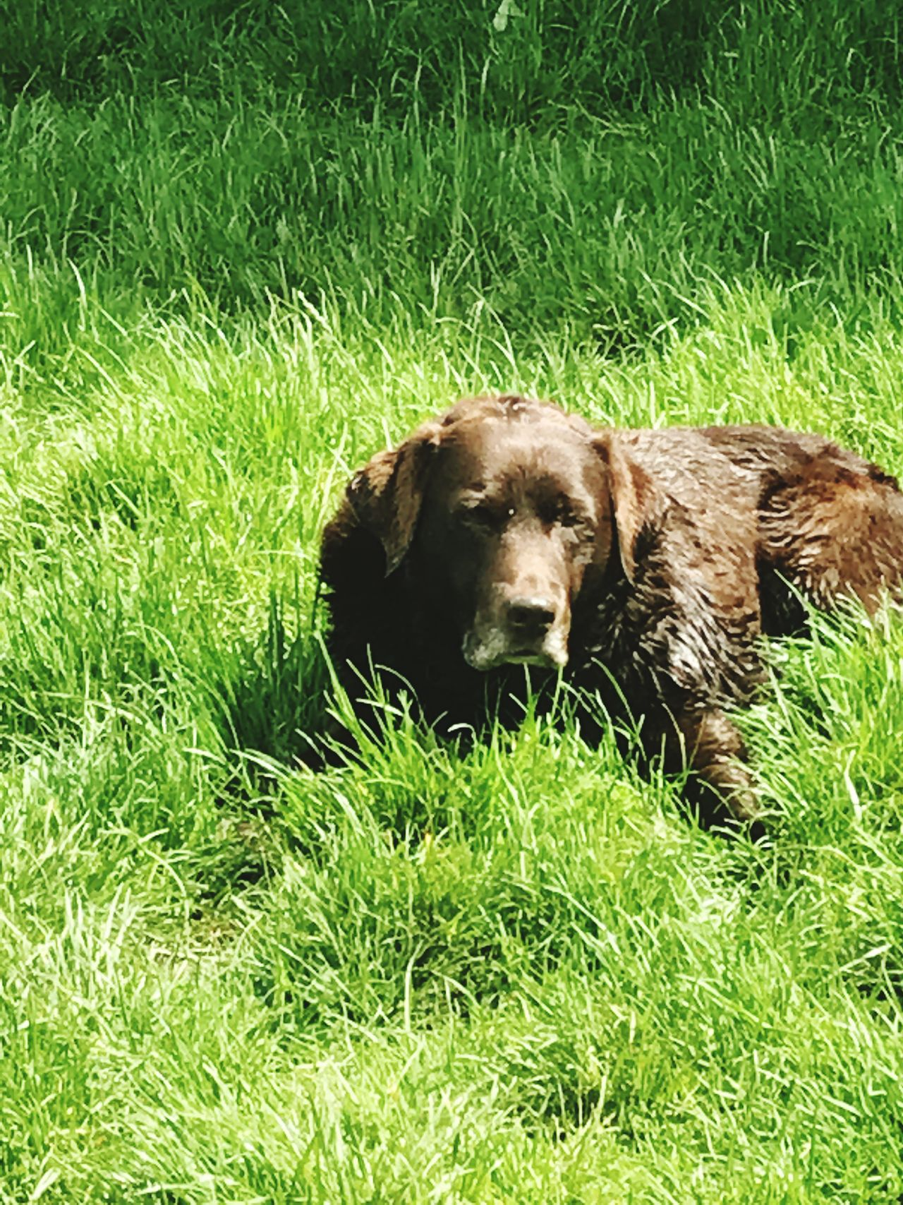 Coco Chanel choc lab nature swimming sunny love dogs