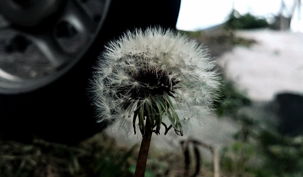 flower, dandelion, fragility, focus on foreground, growth, nature, flower head, close-up, plant, no people, uncultivated, day, outdoors, freshness, beauty in nature