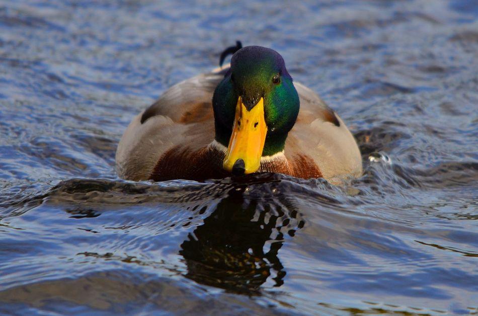 Beautiful stock photos of duck, Animal Themes, Animals In The Wild, Beak, Bird
