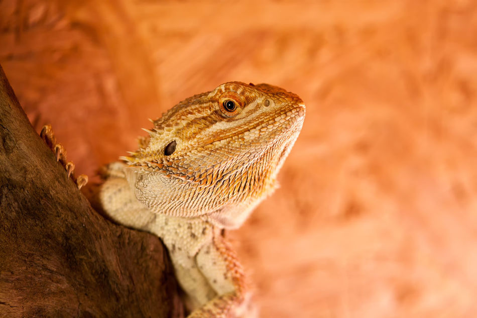 Agamidae Animal Head  Animal Themes Australien Bartagame Bartagamen Bearded Dragon Bearded Dragons Beauty In Nature Close-up Dragon Echse Eidechse EIDECHSEN Haustier Lizard Pet Pogona Reptil Reptile Squamata Terrarium Wildlife