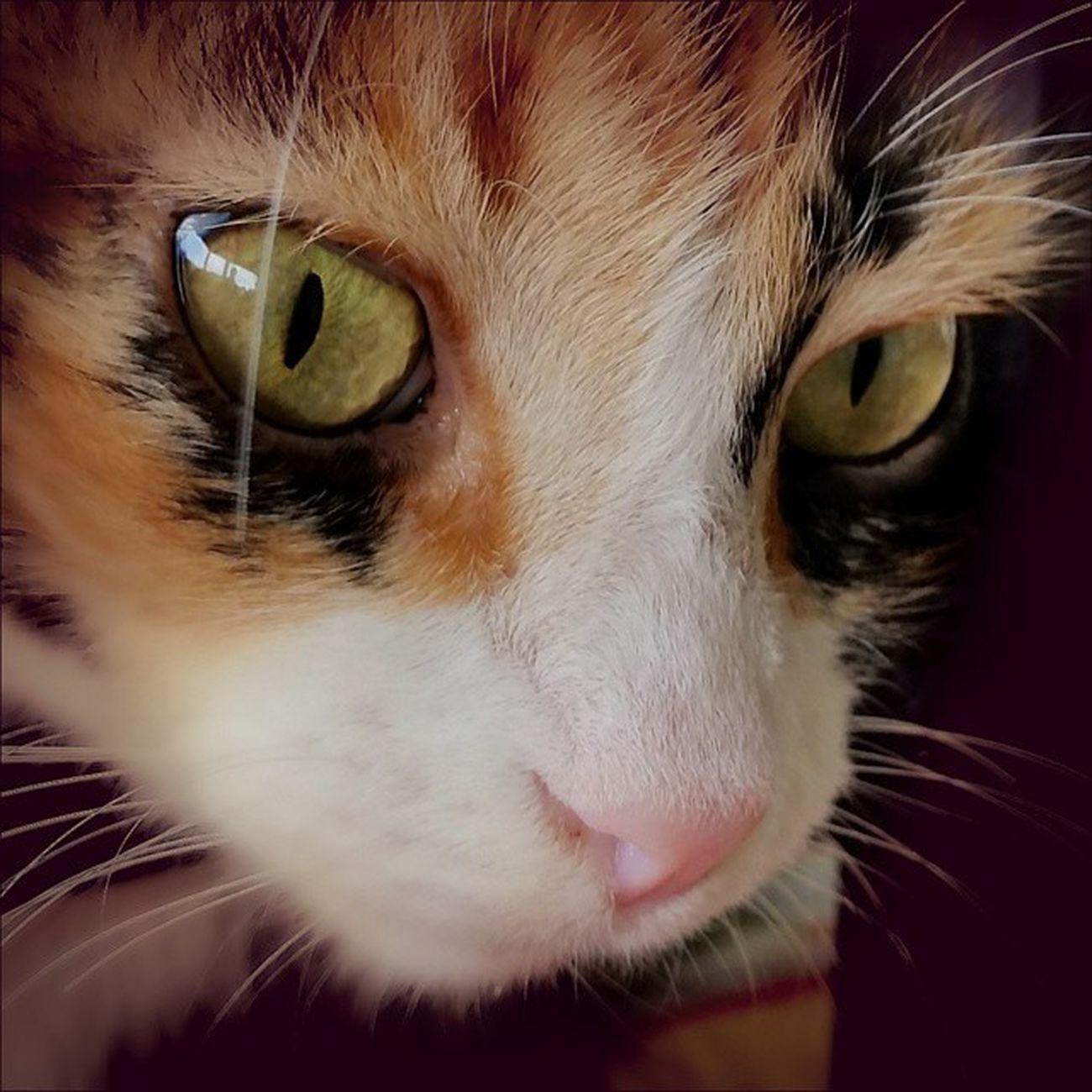 @ig_santanderes ,@ig.colombia , @ig_all_americas , @igworldclub , @ig_americas , @ig.latinoamerica , Cats , Igworldclub , Animals , Macro , Mascota , Miniño , Eyes , Petstagram , Gato Gato Gatos TagsPorMeGustas Gatosagram Instabueno Gatito Gatitos Mascota Mascotas Animal Animales Mascotagram FotoDelDia Gatoseninstagram Quieroamigato Instagatos naturaleza gatodeldia amoalosgatos peludo adorable