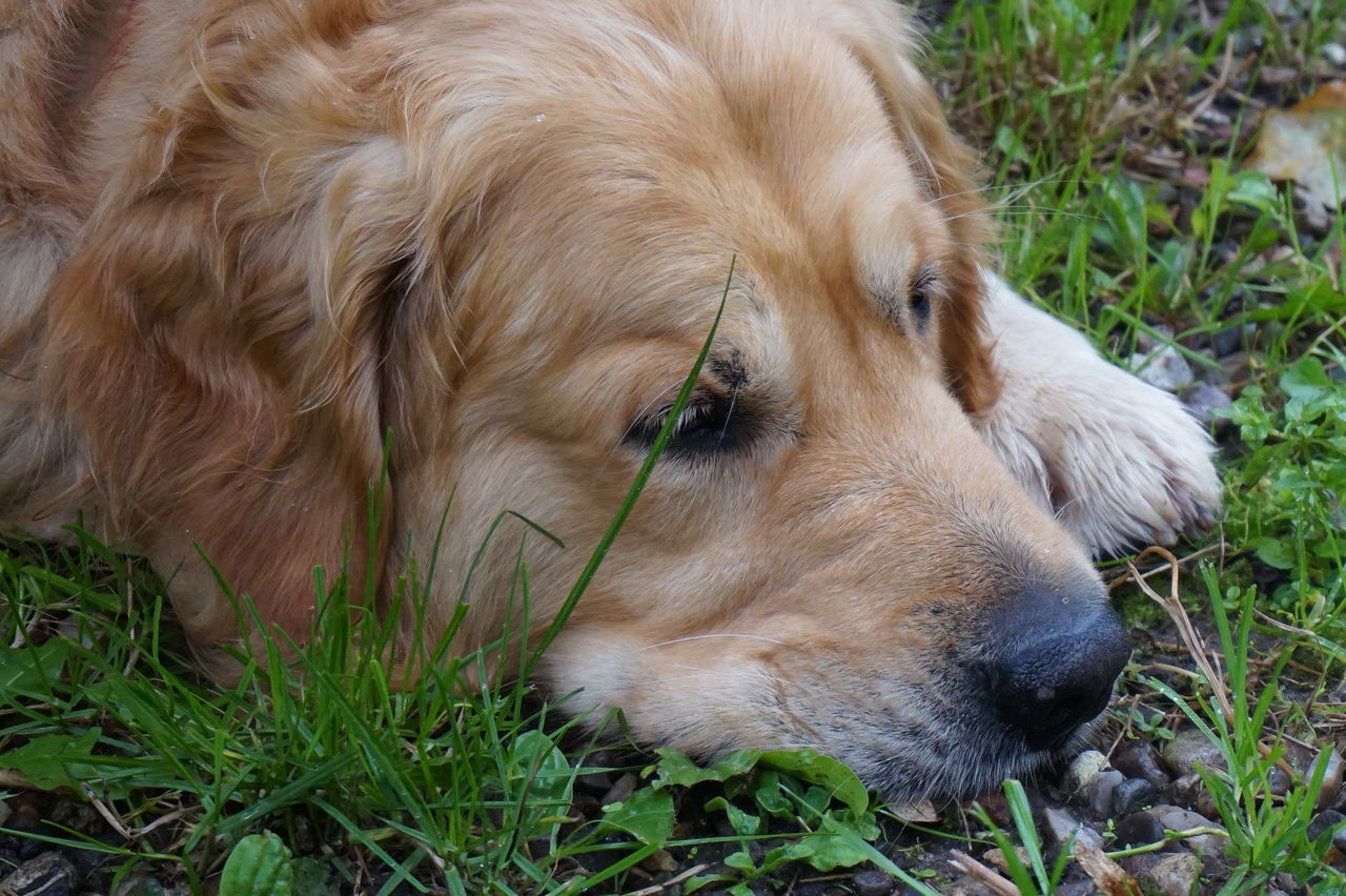 dog, pets, one animal, mammal, animal themes, domestic animals, grass, golden retriever, lying down, close-up, relaxation, no people, day, outdoors, nature