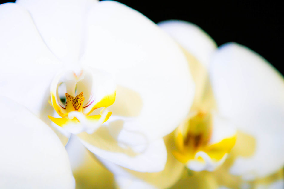 Beauty In Nature Blooming Blossom Close-up Flower Flower Head Orchid Orchid Blossoms White Color
