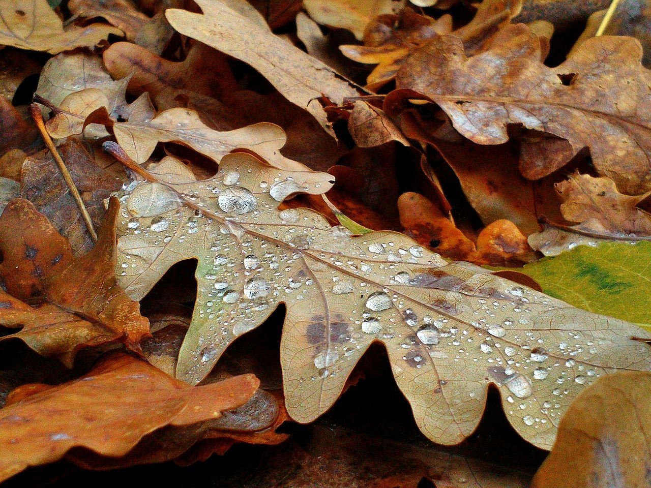 Close-Up Of Autumn Leaf With Drops