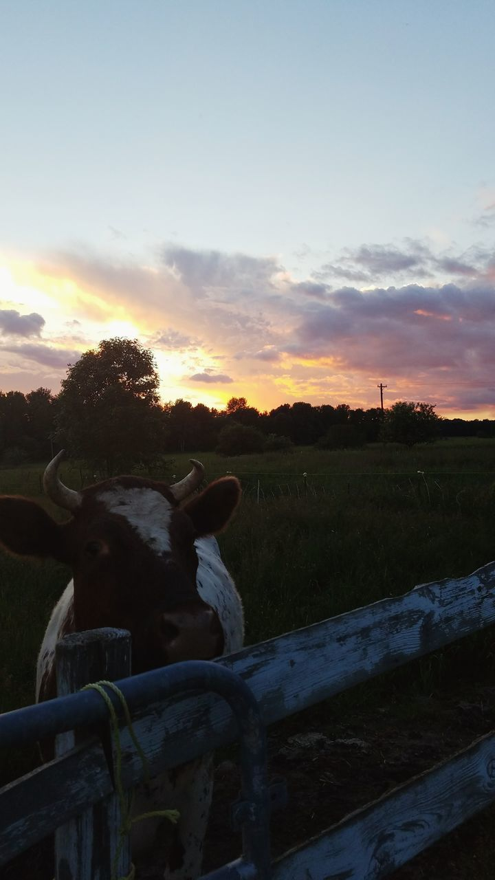 domestic animals, animal themes, sky, mammal, sunset, one animal, cloud - sky, livestock, field, grass, cow, no people, nature, landscape, rural scene, outdoors, tranquility, scenics, beauty in nature, day