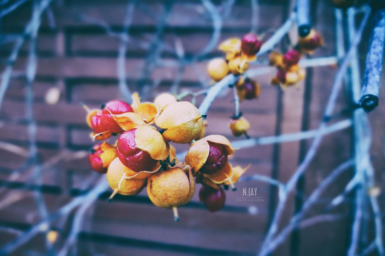 Genus Celastrus Staff Tree Fruits Berrys Macro Macro_collection Close-up Branch Branches Plant Fruit Freshness Nature Beauty In Nature HuaweiP9 Eye4photography  EyeEm Masterclass EyeEm Nature Lover Nature Streamzoofamily Flowers,Plants & Garden Botany Macro Beauty Red Berries Autumn Autumn Colors