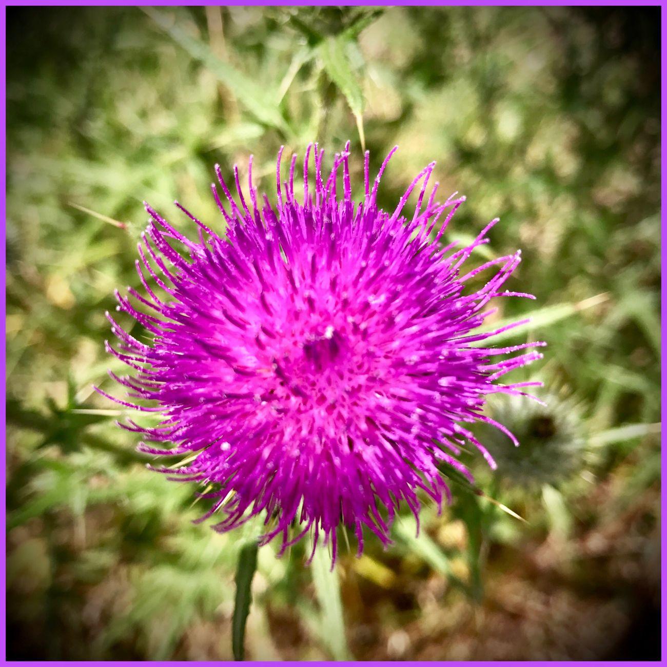 Flower 🍃🌷🍂 Flower Plant Prickle Nature Eyeemcollection MyPhotography Pink Pretty Sidewalkflower 🍃🌷🍂