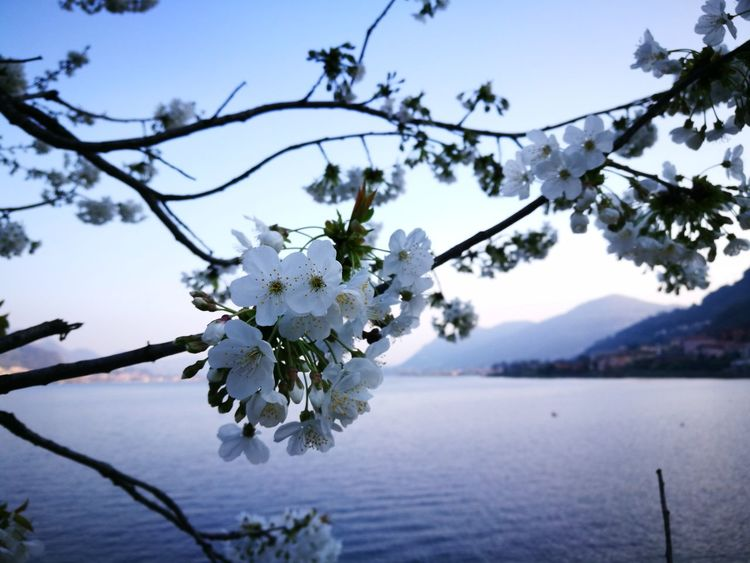 Flower Tree Cherry Blossom Blossom Springtime Beauty In Nature Fragility Nature Orchard Freshness Huawei P9 Leica Italy HuaweiP9Photography HuaweiP9 Lake Of Como, Lecco Tranquility Water Nature Lago Di Lecco Lago Di Como