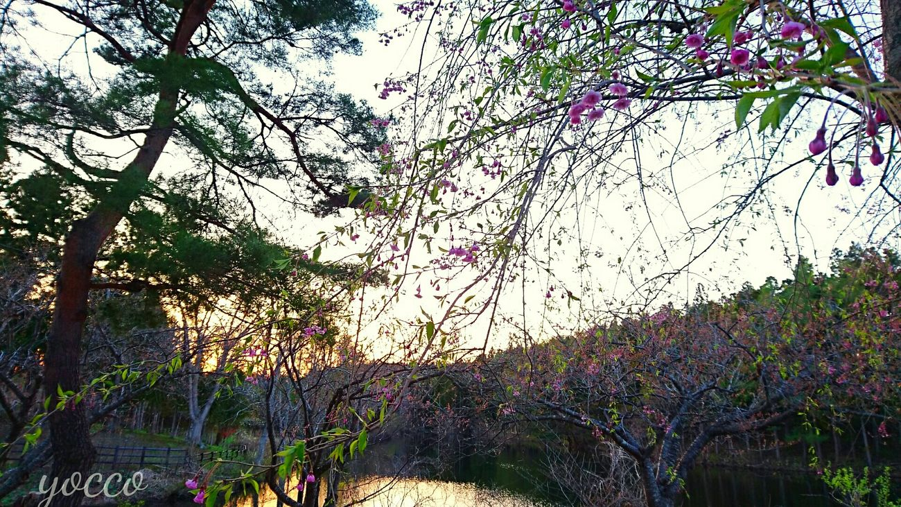 Tree Beauty In Nature Growth Sunset Pink Color Evening Nature Nature_collection Hellow World Check This Out Japanese Style Sakurafestival EyeEm Best Shots - Nature EyeEm Gallery Japan Photography Japan 桜 Outdoors Eyeem Photography Cherry Blossom EyeEm Nature Lover EyeEm Nature Lover Water Spring Flowers Tree Nature