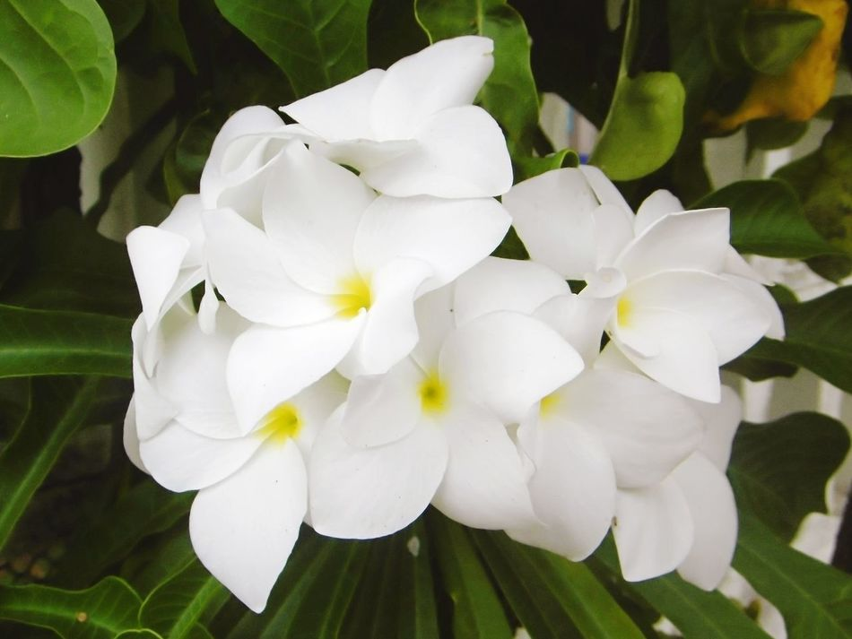 Flower Petal Plant Nature Close-up Growth จำปา, จำปาลาว จำปาขอม Frangipani, Plumeria, Temple Tree, Graveyard RaveBeauty In Nature White Color Freshness Flower Head Fragility No People Leaf Outdoors Day Green Color ลั่นทม Rave จำปา Frangipani Flower ลั่นทม