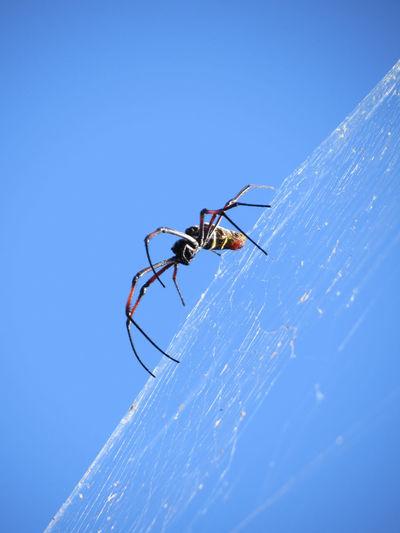 Golden Orb Spider Goldene Radnetzspinne Seidenspinnen South Africa Spider Spinne Südafrika