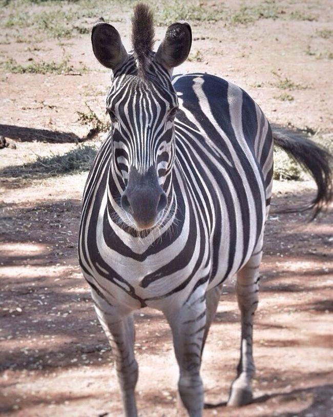 Filter Zebra Zebra Stripes Zoo Zoo Animals  Zooanimals PretoriaZoo Zoology Wildlife Wild Wildanimal Nikon Nikonphotography NikonD5500 Wildlife Photography Photography Nikon_photography_ Black And White Stripes