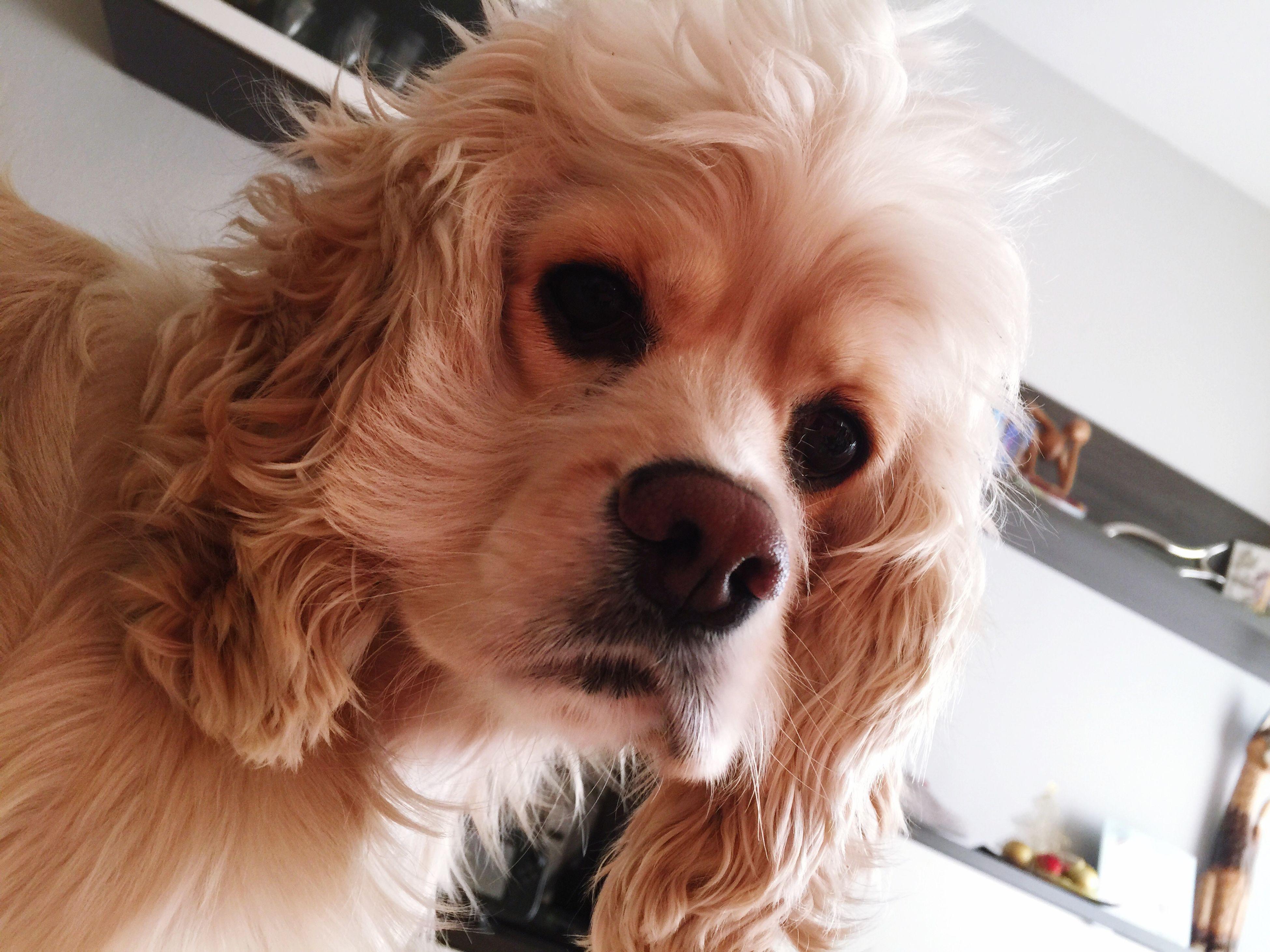 Un año contigo Perro Cockerspaniel Hi! Dogs Love ♥ One Year With You