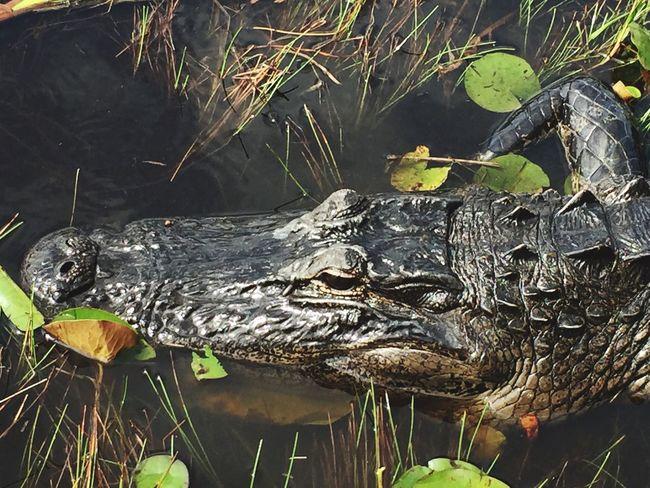 Airboat Everglades  Aligator