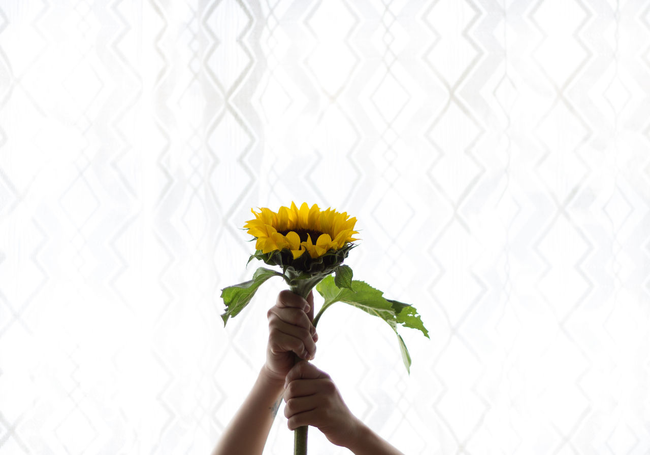 Beautiful stock photos of sunflower, Cropped, Day, Freshness, Holding