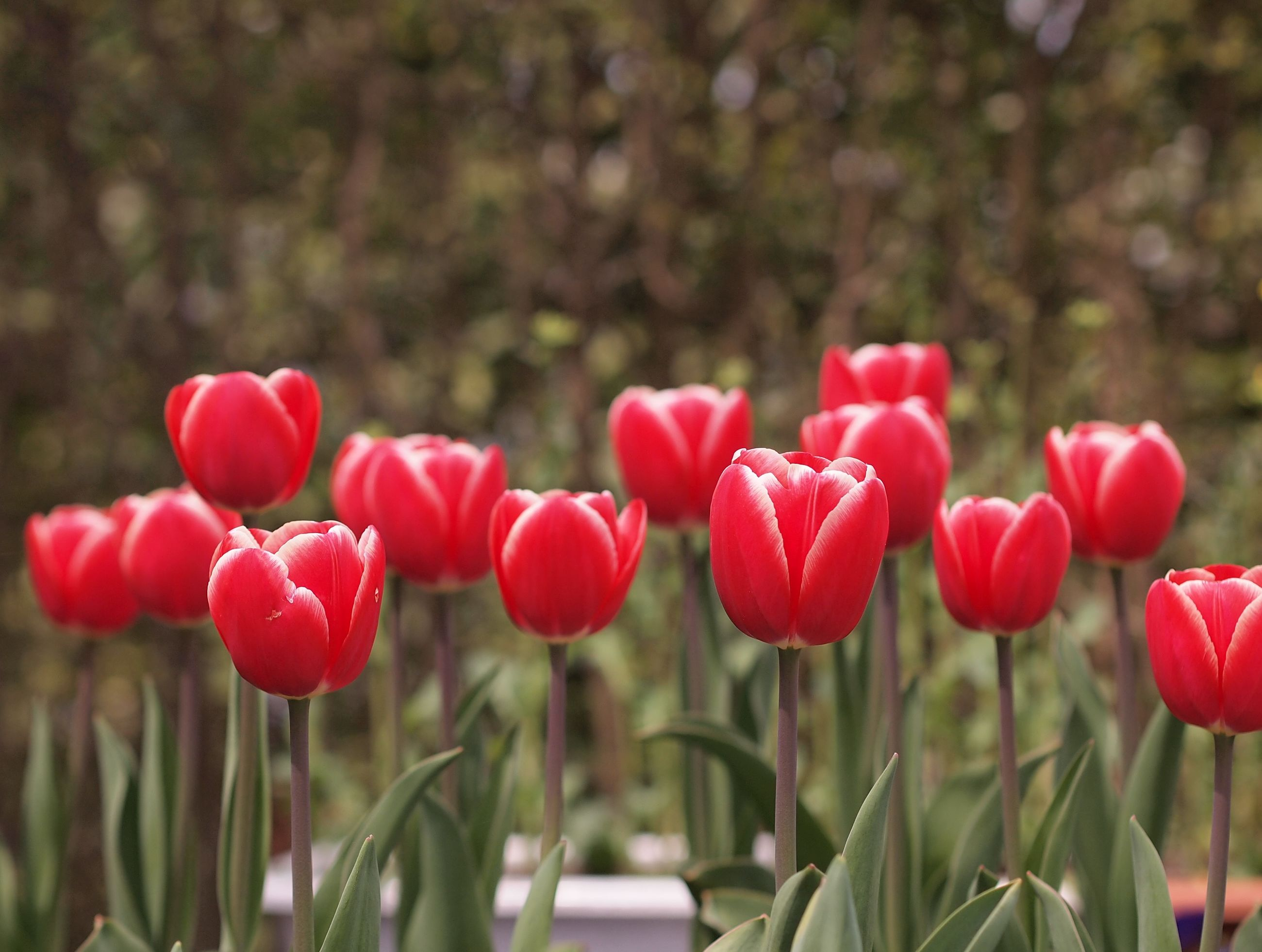 flower, freshness, red, petal, growth, fragility, beauty in nature, flower head, tulip, focus on foreground, blooming, nature, plant, close-up, field, stem, selective focus, park - man made space, pink color, in bloom