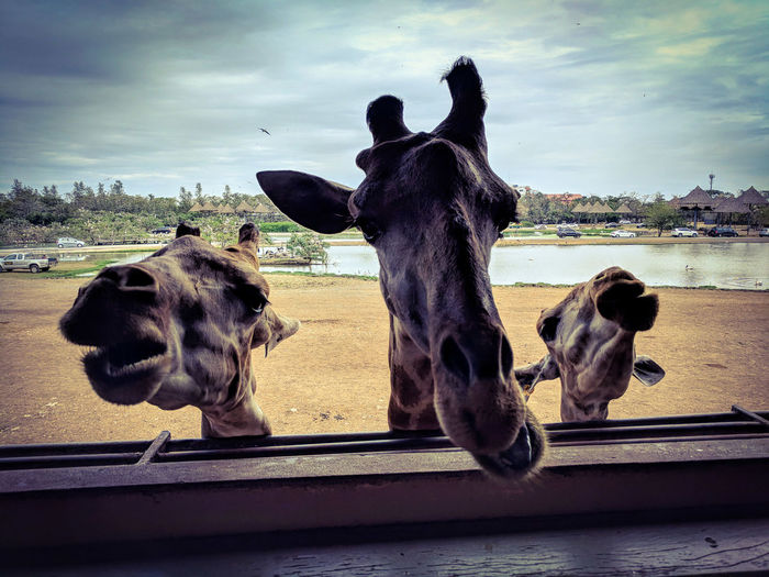 Three giraffes are asking for food in a zoo Sand Pond Animal Themes Animal Wildlife Animal Food Beg Three Friends Mammal Sky Animal Long Neck  Giraff Zoo Domestic Animals No People Day Nature Water