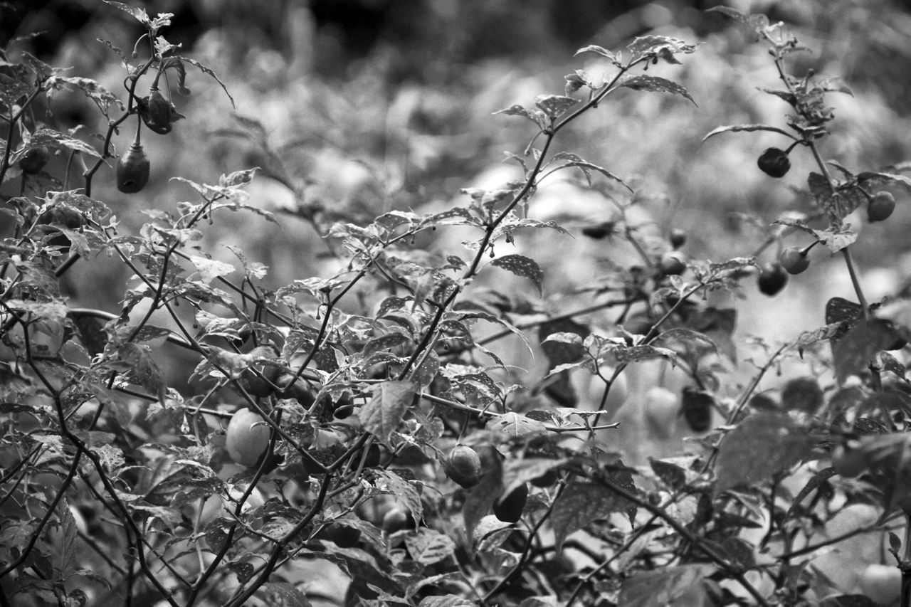 Black And White Blackandwhite Chilli Close-up Copse Day Flavouring Growth Nature No People Outdoors Peppers Plant Scrub Selective Focus Spice Tree