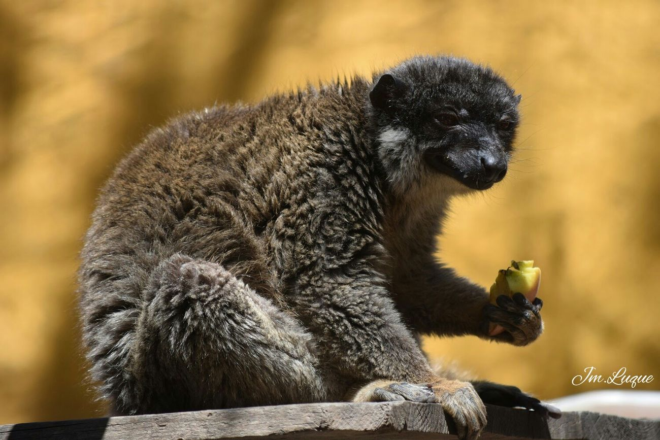 Lemurs Brown Lemurs Hello World Taking Photos Beautiful Animals EyeEm Gallery Selvo Estepona
