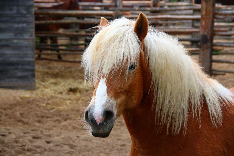 Beautiful stock photos of pony, Animal Hair, Animal Head, Animal Themes, Day