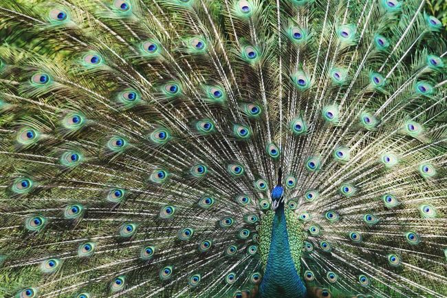 Beauty Peacock Fether Peacocking Bragging Pride BirdsLearn & Shoot: Leading LinesShoot: Leading Lines