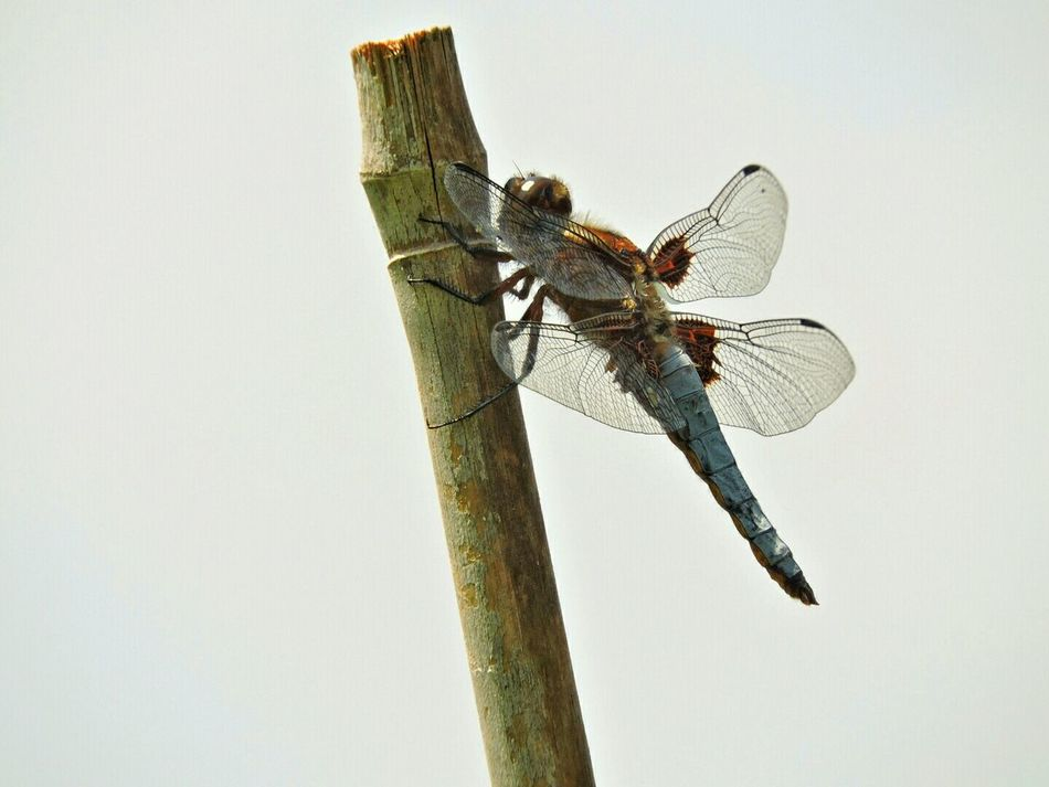 Libelle Dragonfly Eyeforphotography Garden Photography EyeEm Nature Lover Macro Photography In My Garden Anisottero Macro Beauty