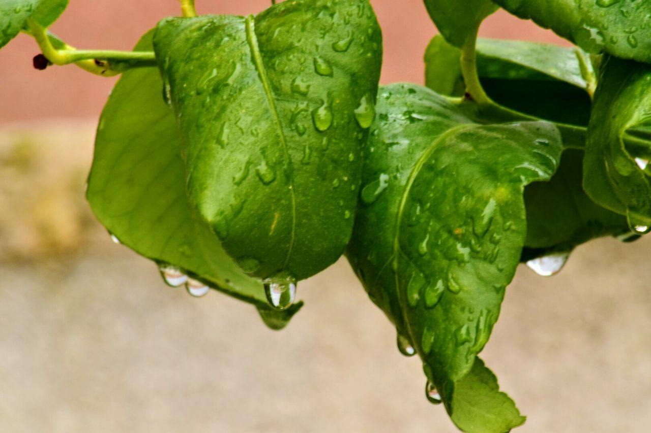Green Color Close-up Focus On Foreground Agriculture No People Growth Nature Beauty In Nature Leaf Freshness Plant Outdoors Healthy Eating Water Nature_collection Spring Colours Rain Drops Springtime Spring Photography Freshness Petal Growth Plant Nature Fragility