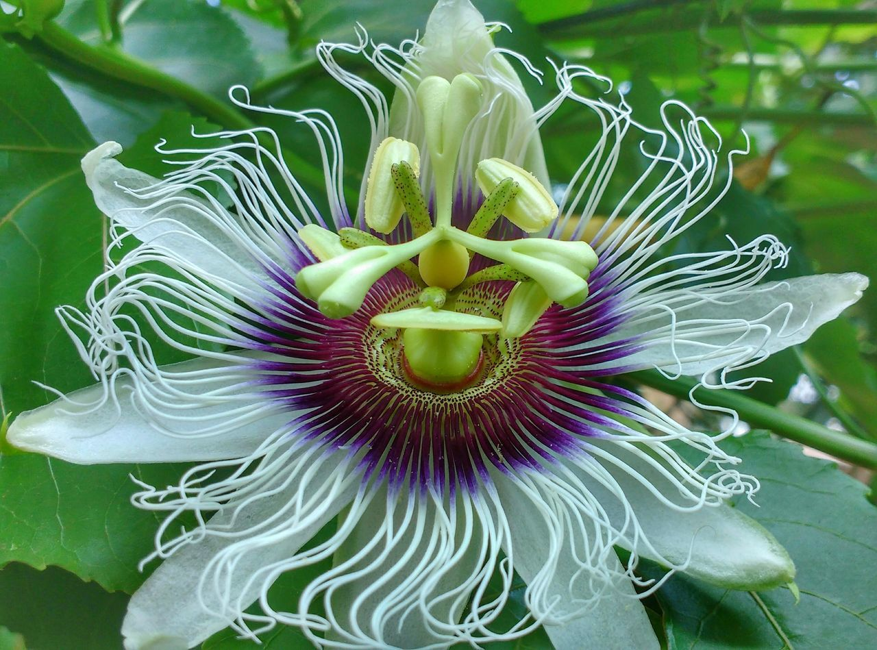 Dê tempo ao tempo Flower Beauty In Nature Nature Fragility Freshness Flower Head Growth Petal Plant Pollen Green Color Close-up Outdoors No People Passion Flower Day Backgrounds Maracujá Maracujina Nature