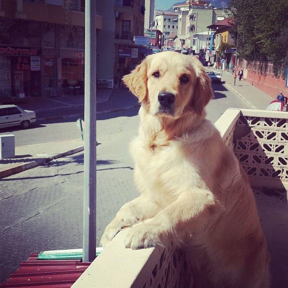 Balkondan sokağı seyretmeye bayiliyoruz :) Tarcin Dogs Golden Balcony street watch look
