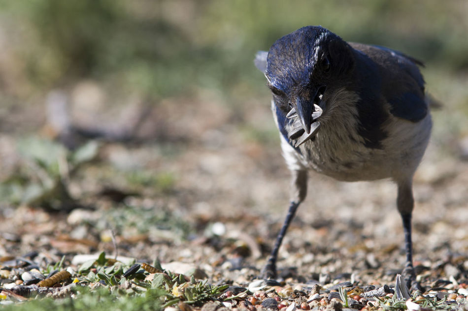 Beauty In Nature Bird Photography Birds Of EyeEm  Black Color Close-up Day Field Focus On Foreground Grass Greedy Ground Growth Hoarder Mammal Nature No People Outdoors Plant Selective Focus Stuffed Western Scrub Jay