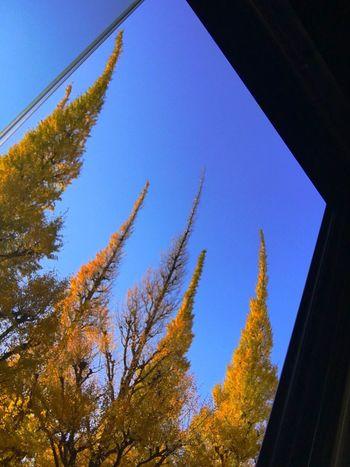 神宮外苑のイチョウ並木。 Low Angle View Tree Ginkgo Ginkgo Tree Ginkgo Leaf Ginko Leaves Yellow Yellow Color Yellow Leaves No People Day Nature Blue Clear Sky Window Sky Beauty In Nature Tokyo Days LAND ROVER SERIES 2 Land Rover Landrover  Land Rover Series Hello World Vintage Cars Historic Car